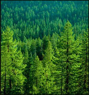 forest biochemistry  pine needles extract  superfood mademoiselle slimalicious