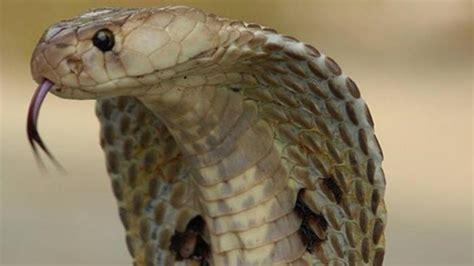 luar biasa pemuda ini kebal gigitan king kobra ditakuti dan bisa berkomunikasi dengan ular