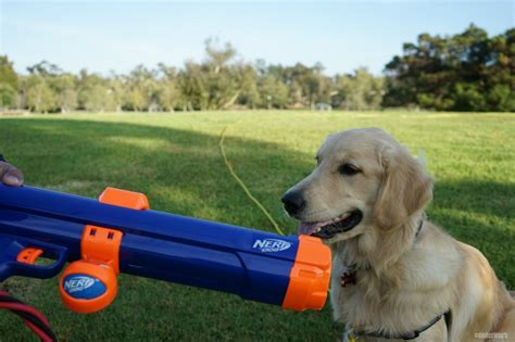 tennis thrower for dogs nerf tennis launcher for dogs chewyinfluencer golden woofs