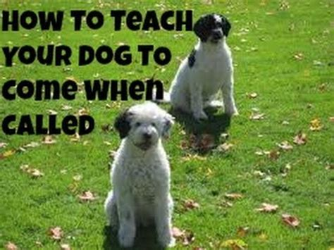 how to teach your to come teach your to come when called funnydog tv