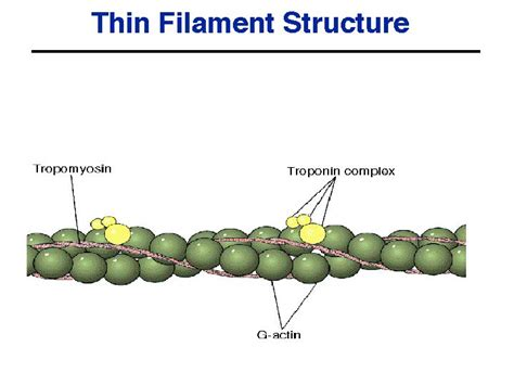 3 proteins found in thin filaments human physiology