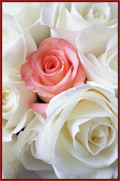 imagenes de rosas blancas bonitas imagenes de rosas blancas y amarillas archivos imagenes