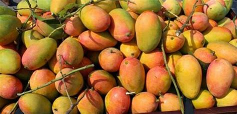 Bibit Alpukat Tanpa Ulat jual cangkokan pohon loa lo elo sms wa 085747130190