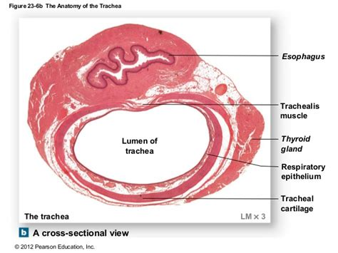 trachea transverse section ch 23 lecture presentation