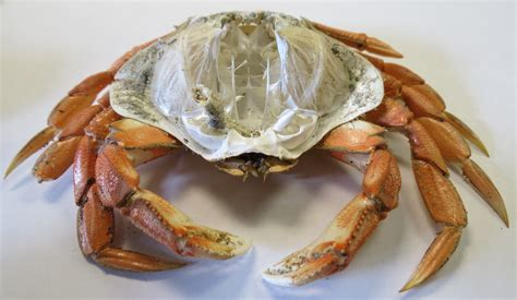 How Do Crabs Shed Their Shell by Bring An Ecosystem To Your Class Lesson Plans Science