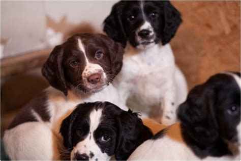 springer spaniel puppies mn national chionship bloodline springer spaniel puppies