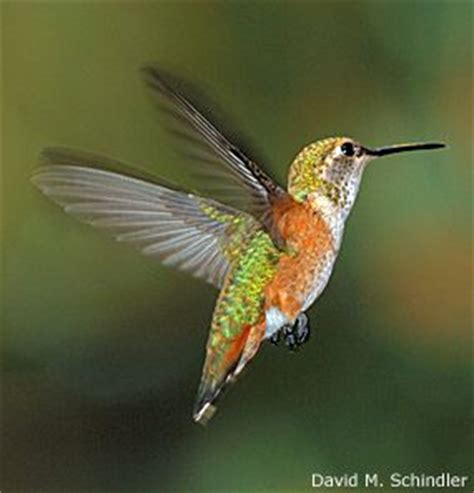 17 best images about hummingbirds on pinterest watches