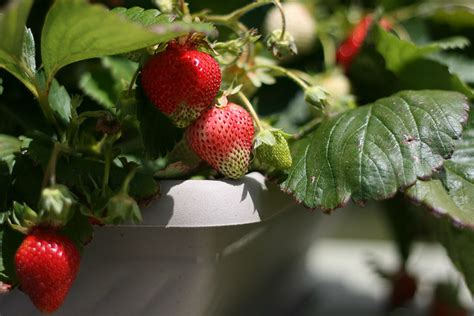 can you grow fruit trees indoors 6 surprising fruits you can grow organically indoors in