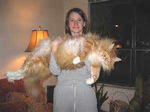 The maine coon cat is the stuff my nightmares are made of truth
