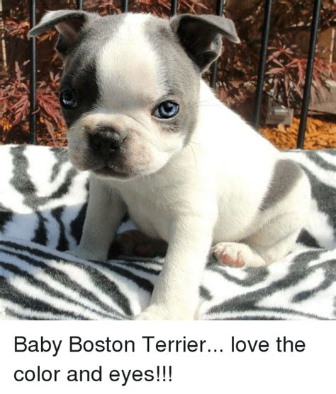 jamberry with boston terrier 25 best memes about boston terrier boston terrier memes