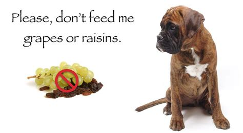 are grapes toxic to dogs pet health warnings dangerous foods chemical and plants