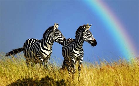 zebra wallpaper for pc prairie zebra hd desktop wallpaper 2 animal wallpapers