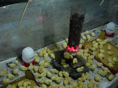 Bibit Itik Medan cara ternak kambing ternak telur puyuh