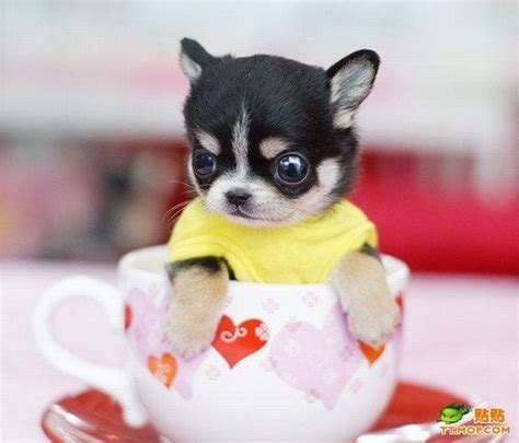 pug puppies for sale ventura county affordable teacup puppies for sale affordable tomuch us