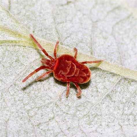 trombidiidae wikipedia