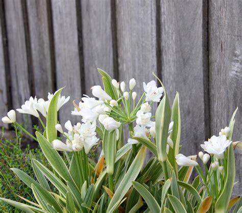 agapanthus agapetite common name dwarf white agapanthus 150mm pot dawsons garden world