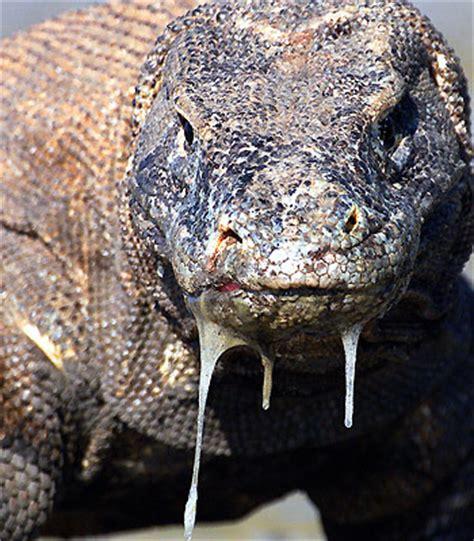 le dragon de komodo atledragonkomodo twitter