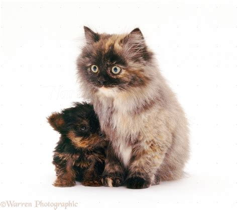 fluffy yorkie puppy pets terrier pup and fluffy tortoiseshell cat photo wp26614