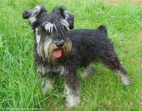 miniature schnauzer dog breed miniature schnauzer pictures and informations dog breeds com
