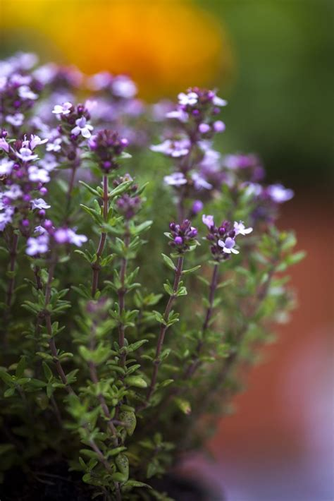 thyme plant ideas  pinterest ground cover