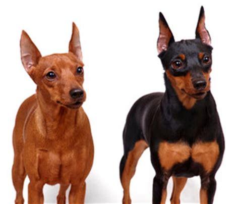 miniature doberman pinscher puppies for sale miniature doberman pinscher for sale breeds picture