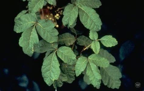 can dogs get poison oak treating poison american academy of dermatology