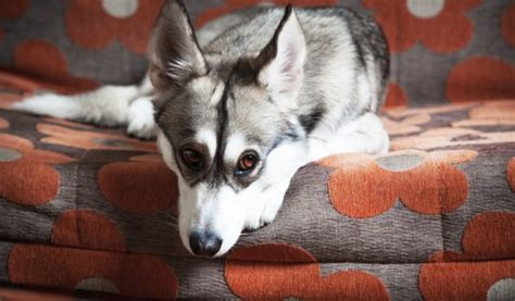 why do dogs furniture why do dogs rub their faces on the carpet or furniture pets4homes