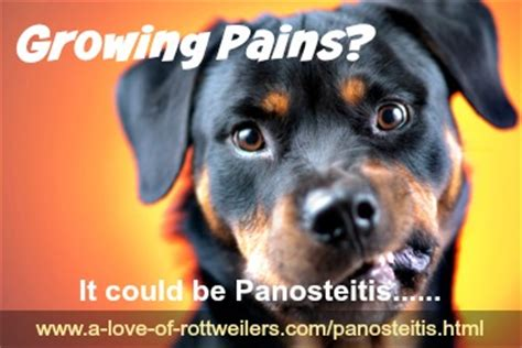 puppy growing pains panosteitis in dogs the cause of puppy growing pains