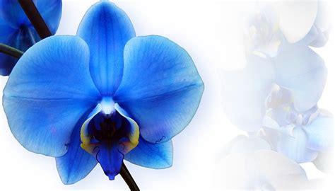 blue orchid blue orchid flower blue orchid flower
