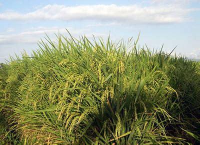 lipi kembangkan varietas unggul padi gogo lembaga ilmu