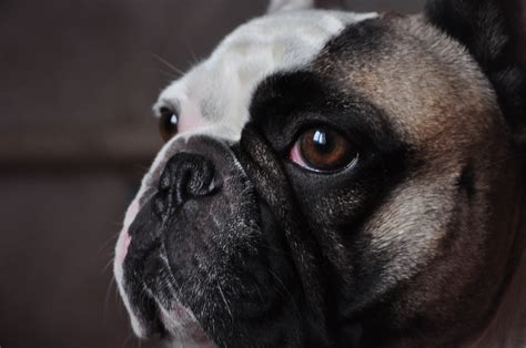 breed that looks like a pug small breeds that look like pugs breed dogs spinningpetsyarn