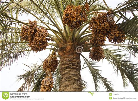 how to grow dates from dates on a date palm tree stock photo image of diet