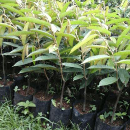 Bibit Durian Petruk jual bibit pohon durian petruk 70 cm jual bibit tanaman