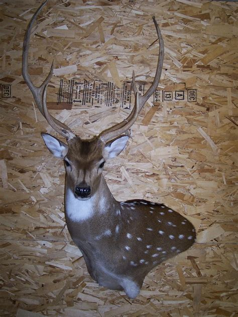 nicks garage    black buck piebald deer skulls