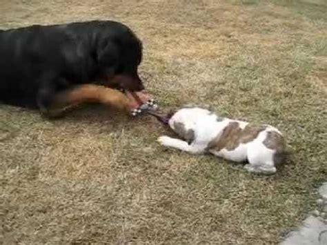 rottweiler bulldog rottweiler vs bulldog part 1