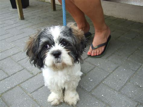 oldest shih tzu 5 month shih tzu