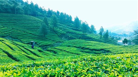 Teh Indonesia terkikisnya kejayaan teh indonesia di pasar dunia