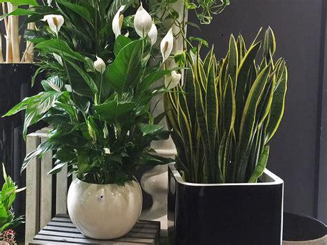 piante fiorite da appartamento foto piante verdi da interno foto piante da appartamento