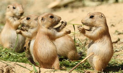 prairie dogs 8 surprising prairie facts stories wwf