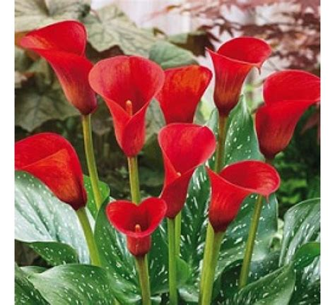 top 28 how do you plant calla bulbs how to grow the calla lily the garden of eaden flower