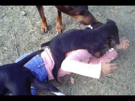 rottweiler attacks statistics rottweiler attack