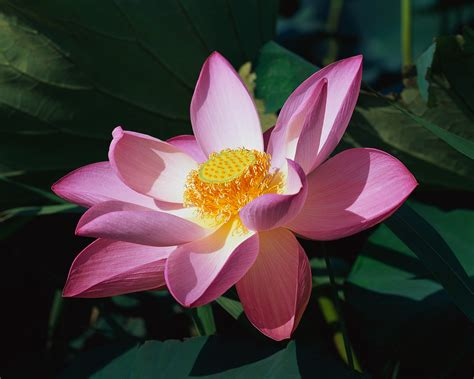 lotus flower sun shines beautifull lotus flower pictures