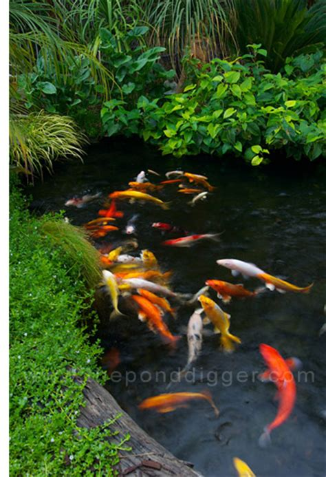 how to make a koi pond in your backyard koi pond design the pond digger