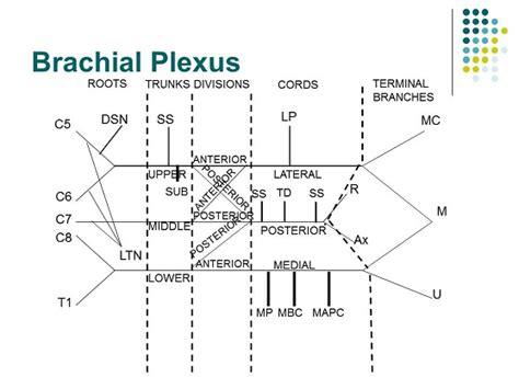 brachial plexus diagram accessphysiotherapy brachial plexus and peripheral nerves