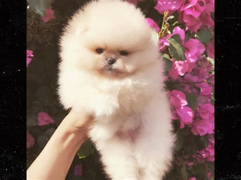 my pomeranian is wheezing s new puppies for and penelope look like micro pomeranians but