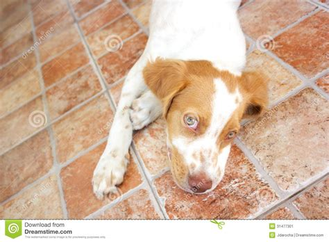lazy house dogs lazy dog stock image image 31477301