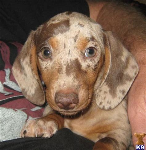 dapple dachshund puppies for sale 78 best images about dachshund on the puppys and smooth