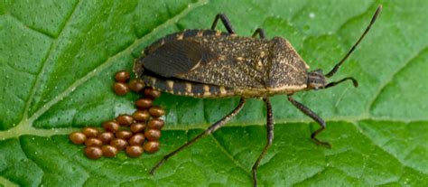 squashed bed bug image gallery squash bugs