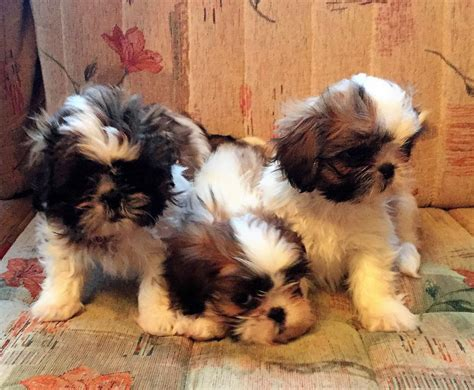 shih tzu puppies for sale in new hshire ready for new homes quality shih tzu puppies emsworth hshire pets4homes