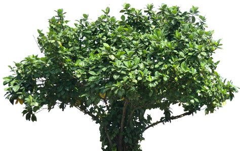 Fig Sw 52634 09 tropical plant pictures ficus lutea big leaved fig